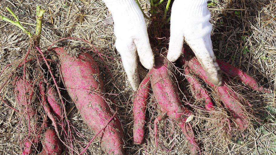 畑で芋掘り